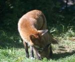 Garden Fox Watch: Parental cleaning