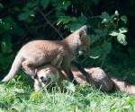 Garden Fox Watch: I am _NOT_ a climbing frame