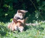Garden Fox Watch: Mum-mum-mum-mum-MUM!