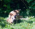 Garden Fox Watch: WHAT!