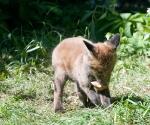 Garden Fox Watch: No, the leaf is still more interesting