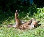 Garden Fox Watch: Leaf calisthenics