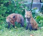 Garden Fox Watch: Butter wouldn't melt in their mouths