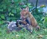 Garden Fox Watch: IT'S A BELLY