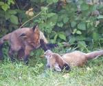 Garden Fox Watch: Capering