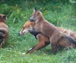 Garden Fox Watch: Hug!