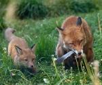 Garden Fox Watch: Mum's feather
