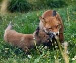 Garden Fox Watch: Cub's feather