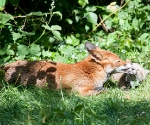 Garden Fox Watch: Not so much a wash as a nibble