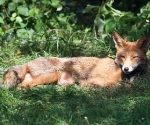 Garden Fox Watch: A rare moment of relaxation