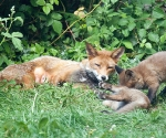 Garden Fox Watch: Yes, that's how you do it