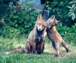 Garden Fox Watch: Mum, are you listening?