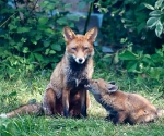 Garden Fox Watch: Mummy?