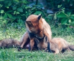 Garden Fox Watch: Yes?