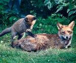Garden Fox Watch: ... Mum?