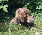 Garden Fox Watch: The brothers