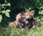 Garden Fox Watch: Affection?