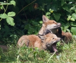 Garden Fox Watch: Tooth and claw