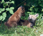 Garden Fox Watch: The touch of your paw...
