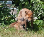 Garden Fox Watch: Tasty