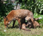 Garden Fox Watch: Competing for milk