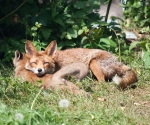 Garden Fox Watch: A pillow for my head