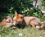 Garden Fox Watch: ...but the pillow needs to be properly groomed