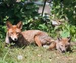 Garden Fox Watch: Two generations