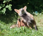 Garden Fox Watch: Having a really good scratch