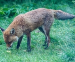 Garden Fox Watch: Dad Fox comes to feed