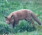 Garden Fox Watch: Searching for cheese