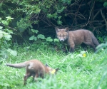 Garden Fox Watch